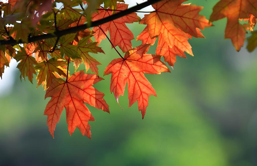 秋高氣爽楓葉紅 點綴繽紛重慶城