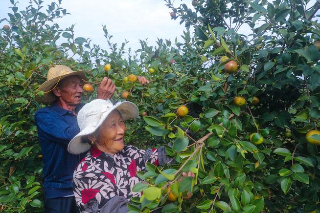 河南光山:種植油茶促民增收