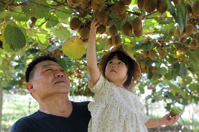 河南靈寶:獼猴桃豐收奏響鄉村振興曲