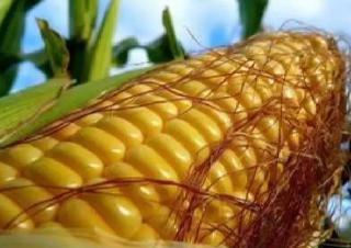 這裏的玉米為啥高産又高價