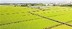 千畝稻田豐收在望