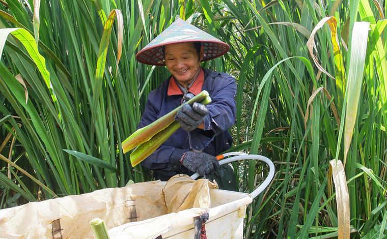 雲南曲靖:茭白産業助農增收